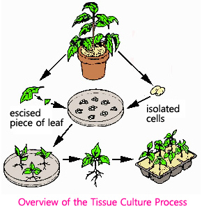 Overview of the Tissue Culture Process